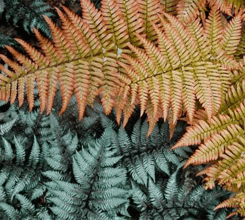 japanese painted ferns